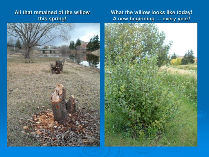 All that remained of the willow this spring!