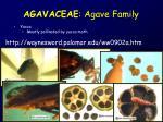 agavaceae agave family3