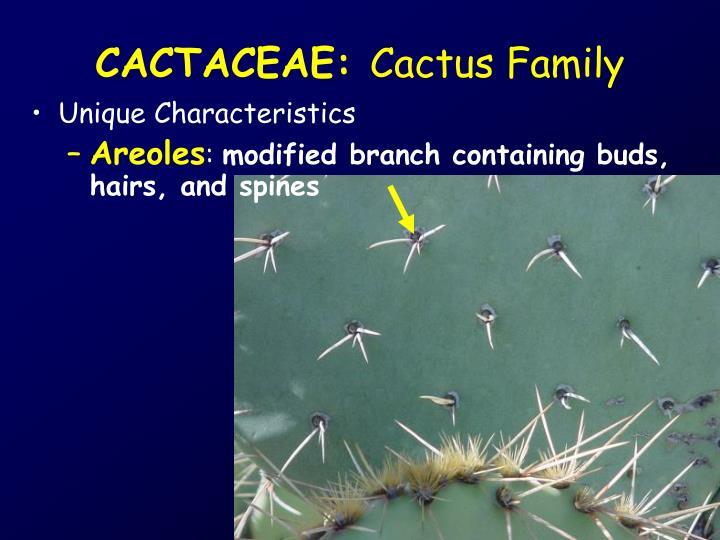 CACTACEAE: