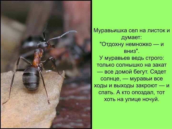 Муравьишка сел на листок и думает: