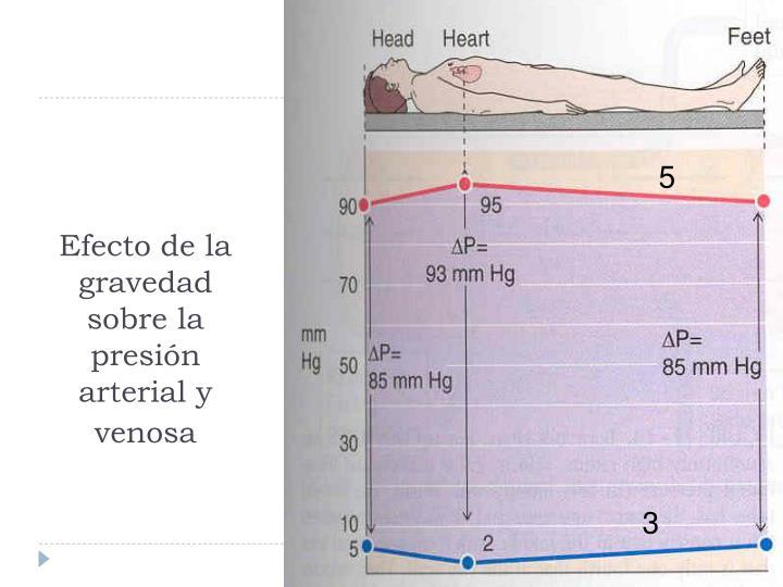 Efecto de la gravedad  sobre la presión arterial y venosa