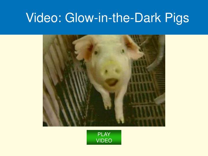 Video: Glow-in-the-Dark Pigs