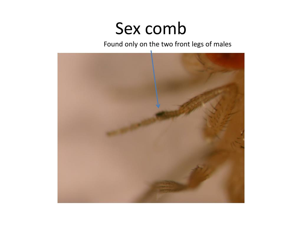 Sex comb