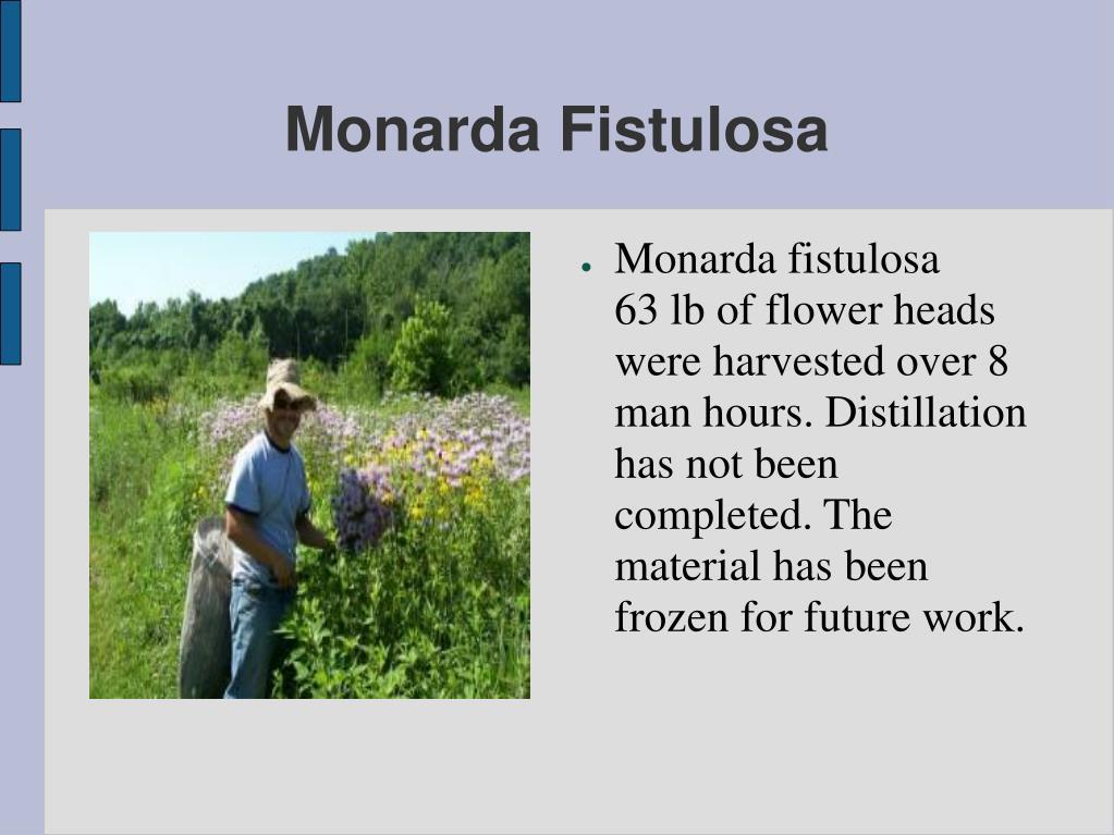 Monarda Fistulosa