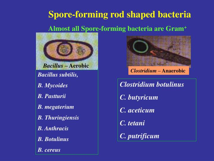 Spore-forming rod shaped bacteria