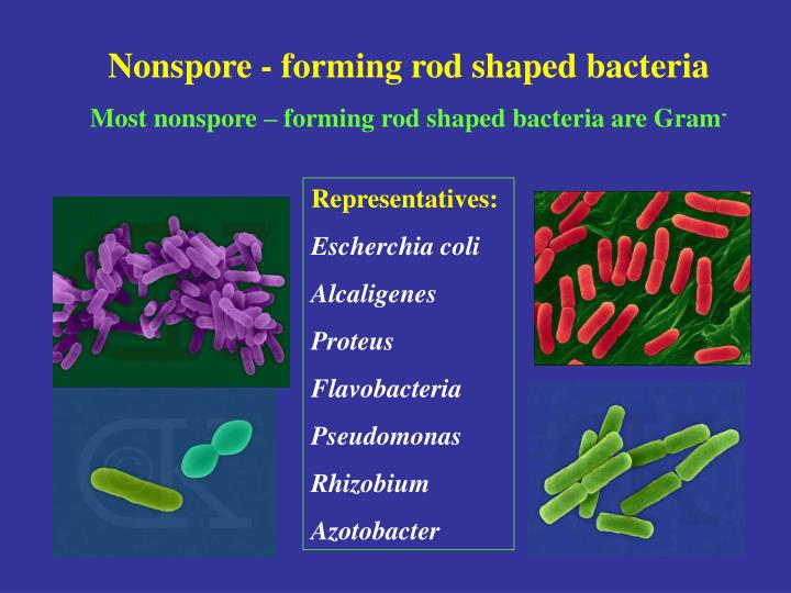 Nonspore - forming rod shaped bacteria