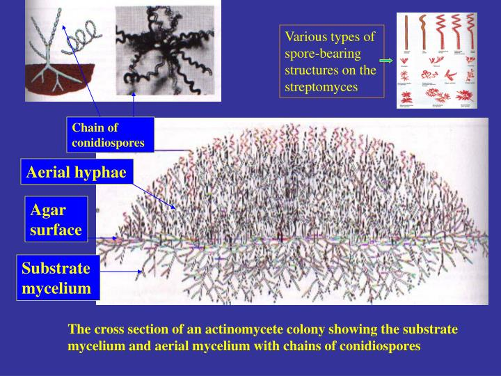 Various types of spore-bearing structures on the streptomyces