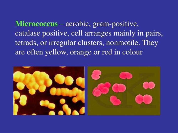 Micrococcus