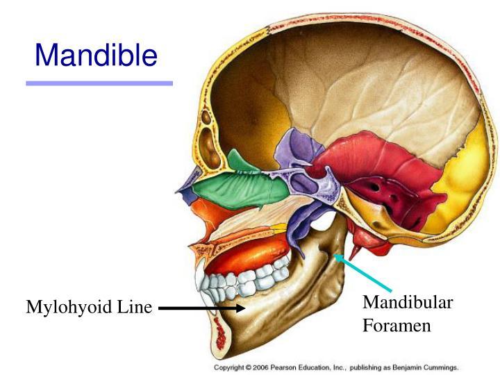 Mandible