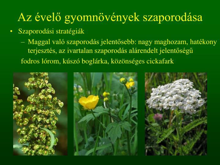Az évelő gyomnövények szaporodása