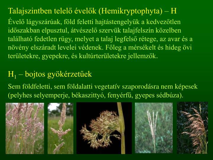 Talajszintben telelő évelők (Hemikryptophyta) – H