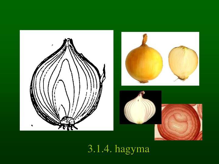 3.1.4. hagyma