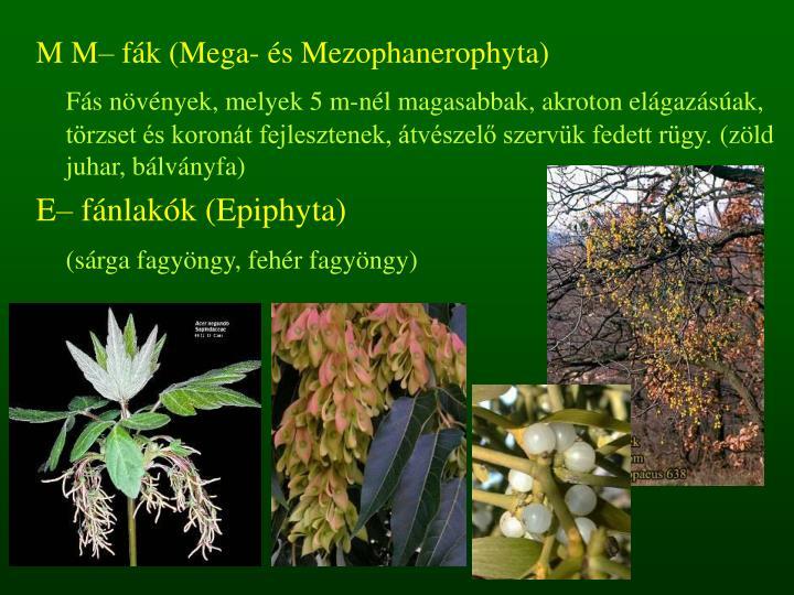 M M– fák (Mega- és Mezophanerophyta)