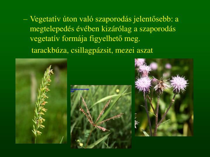 Vegetatív úton való szaporodás jelentősebb: a megtelepedés évében kizárólag a szaporodás vegetatív formája figyelhető meg.