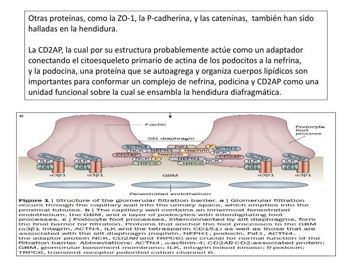Otras proteínas, como la ZO-1, la P-cadherina, y las cateninas,  también han sido halladas en la hendidura.