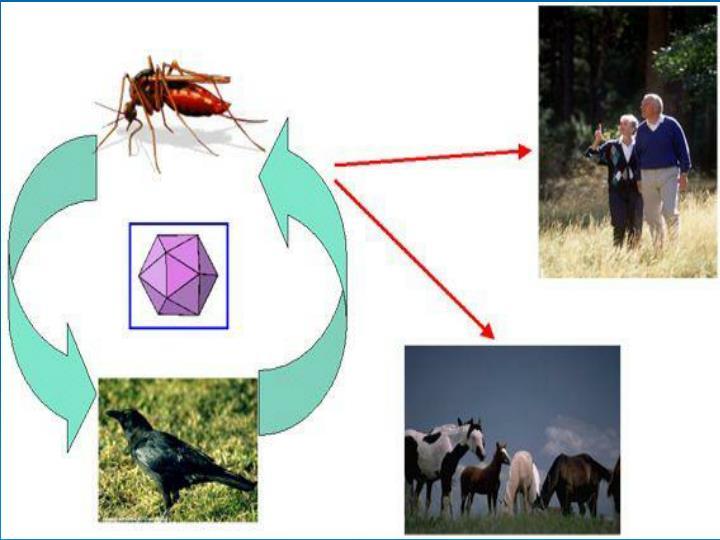 Life cycle of WNV