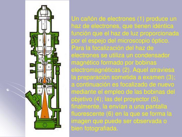 Un cañón de electrones (1) produce un haz de electrones, que tienen idéntica función que el haz de luz proporcionada por el espejo del microscopio óptico. Para la focalización del haz de electrones se utiliza un condensador magnético formado por bobinas electromagnéticas (2). Aquel atraviesa la preparación sometida a examen (3); a continuación es focalizado de nuevo mediante el empleo de las bobinas del objetivo (4); las del proyector (5), finalmente, la envían a una pantalla fluorescente (6) en la que se forma la imagen que puede ser observada o bien fotografiada.
