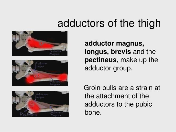 adductors of the thigh