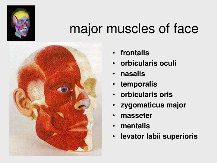 major muscles of face