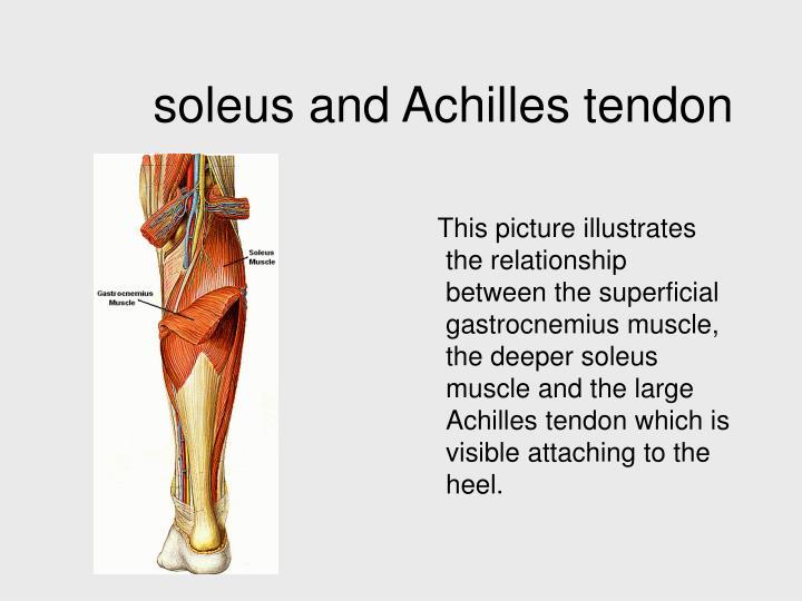soleus and Achilles tendon