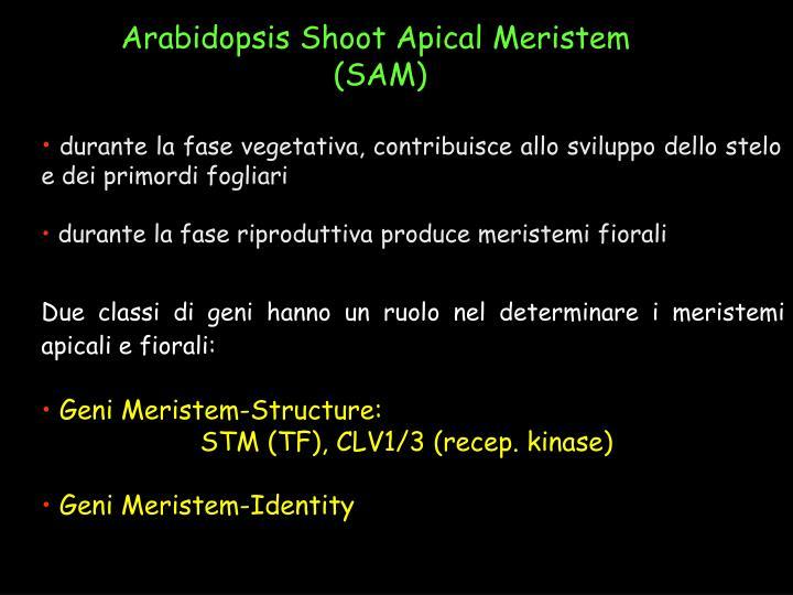 Arabidopsis Shoot Apical Meristem