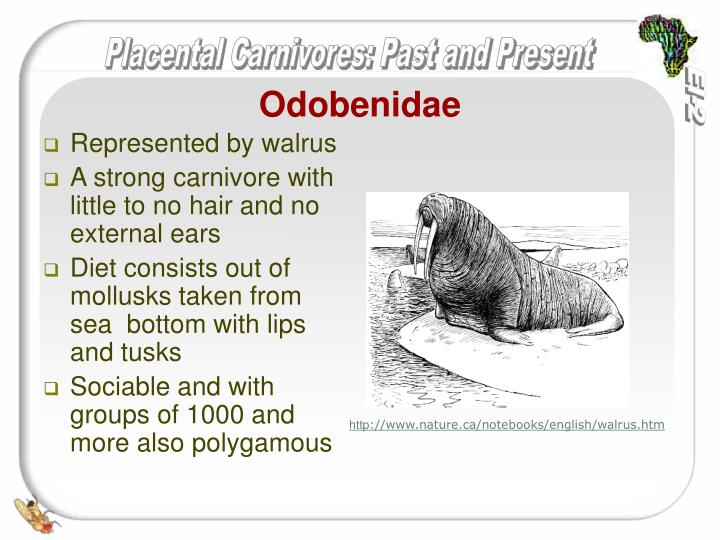 Odobenidae