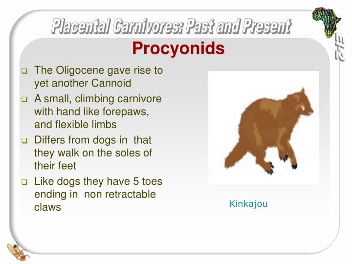 Procyonids