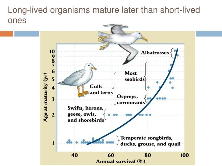 Long-lived organisms mature later than short-lived ones