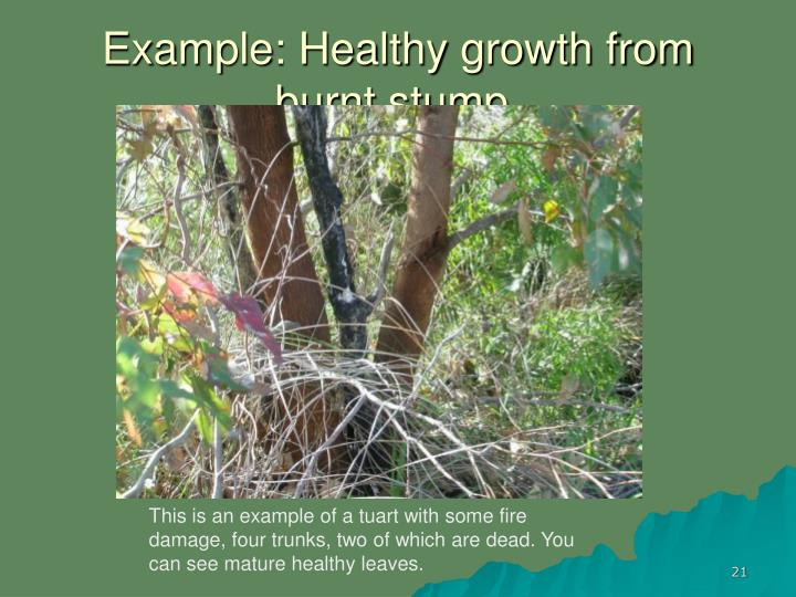 Example: Healthy growth from burnt stump,