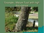 example mature tuart with high disturbance