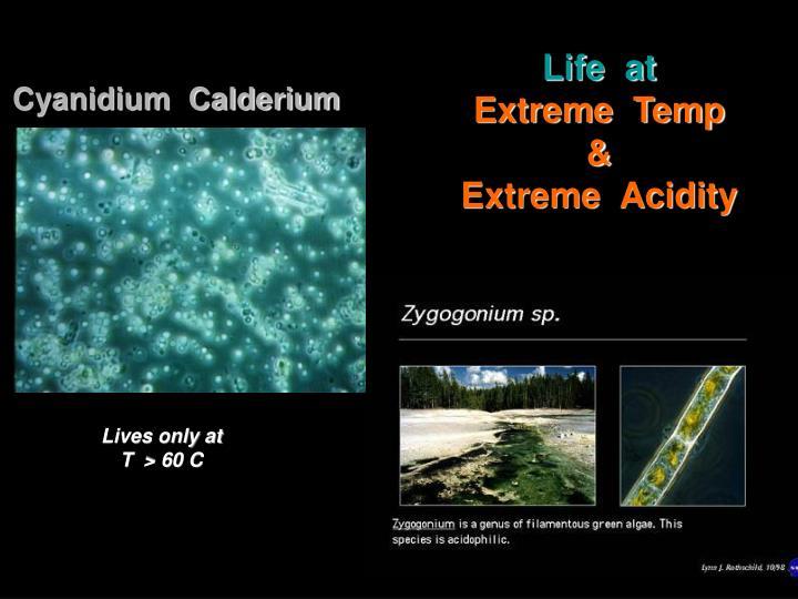 Cyanidium  Calderium