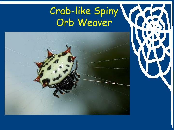 Crab-like Spiny