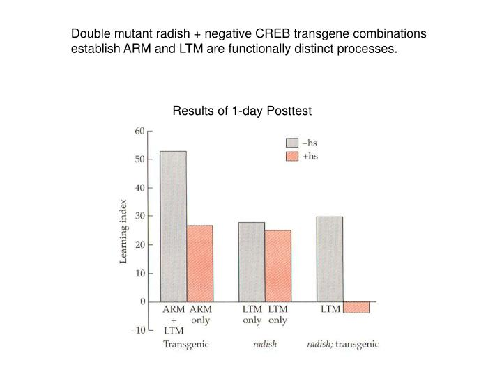 Double mutant radish + negative CREB transgene combinations establish ARM and LTM are functionally distinct processes.