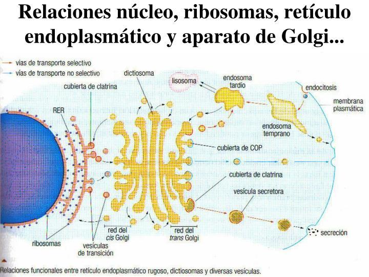 Relaciones núcleo, ribosomas, retículo endoplasmático y aparato de Golgi...