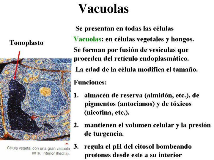 Vacuolas
