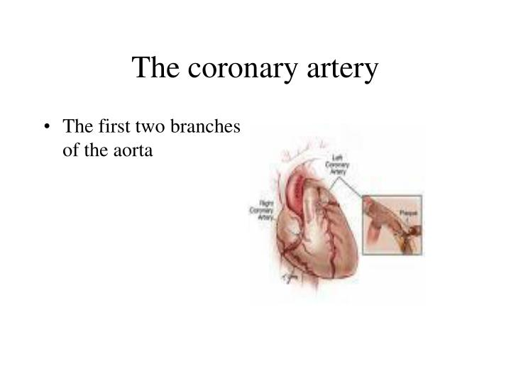 The coronary artery