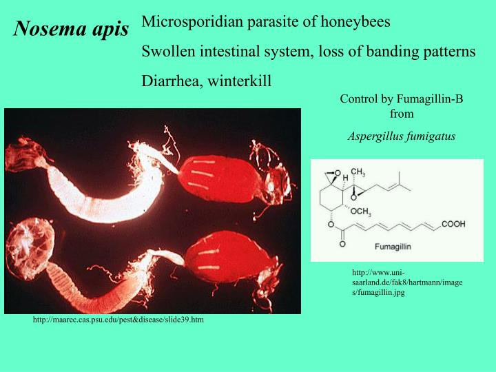 Microsporidian parasite of honeybees