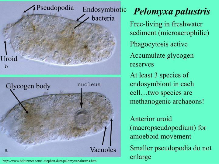 Pseudopodia
