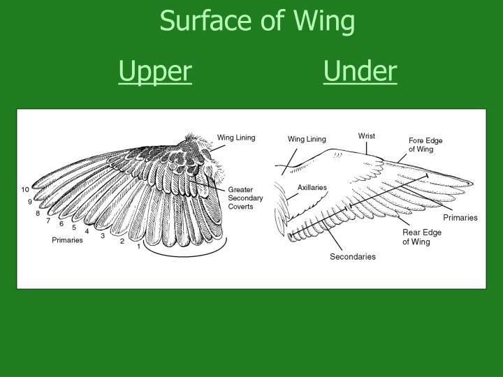 Surface of Wing