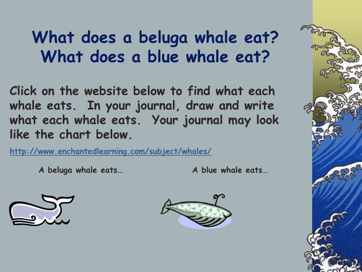 A beluga whale eats…