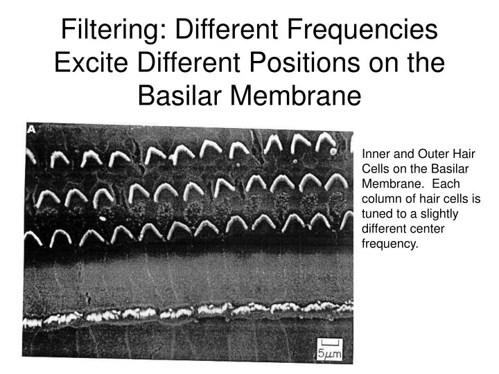 Filtering: Different Frequencies Excite Different Positions on the Basilar Membrane