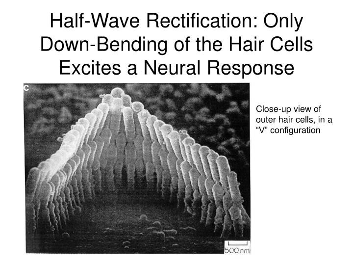 Half-Wave Rectification: Only Down-Bending of the Hair Cells Excites a Neural Response