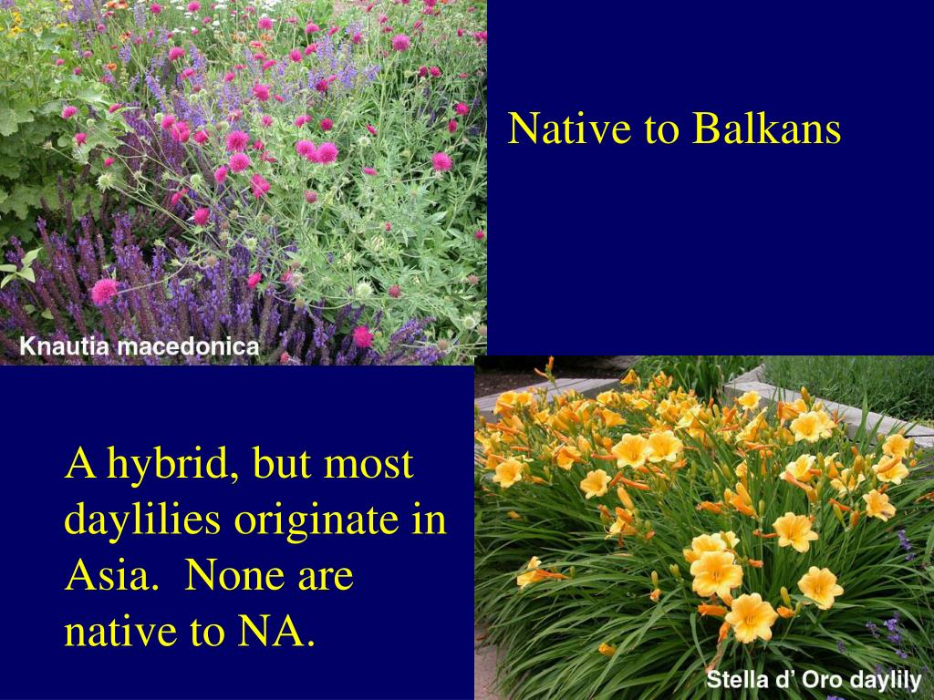 Native to Balkans