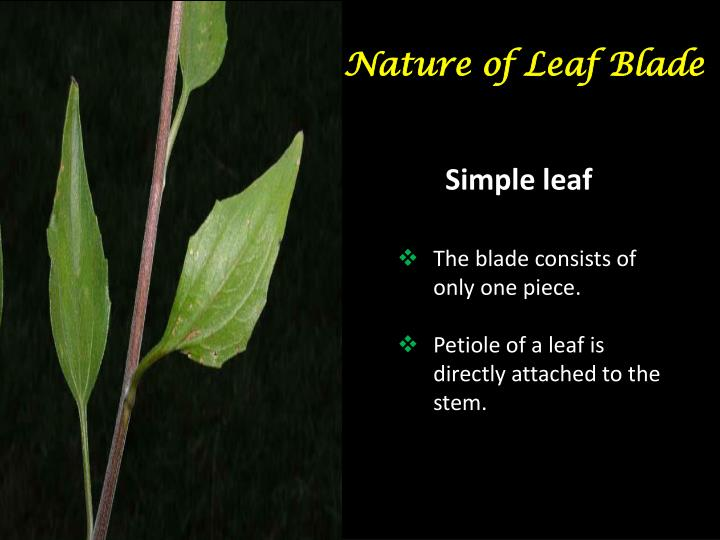 Nature of Leaf Blade