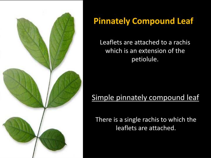 Pinnately Compound Leaf
