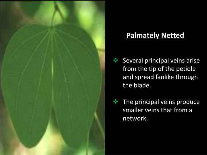 Palmately Netted