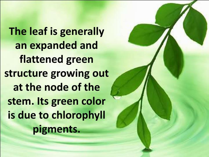 The leaf is generally an expanded and flattened green structure growing out at the node of the stem. Its green color is due to chlorophyll pigments.