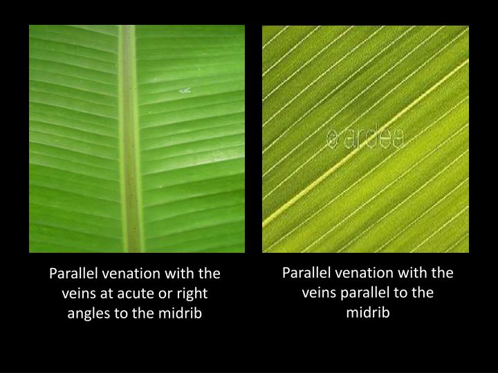 Parallel venation with the veins parallel to the midrib