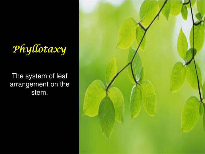 Phyllotaxy