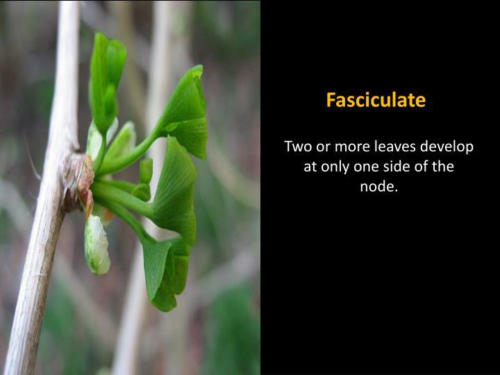 Fasciculate